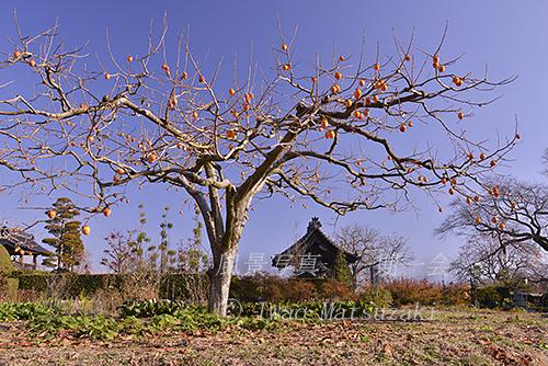 blg_伊那谷の柿-3