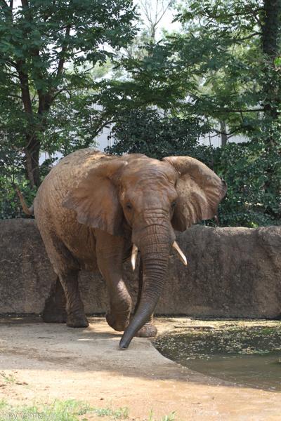 アフリカゾウ 画像