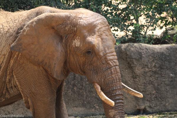 八木山動物園 アフリカゾウ
