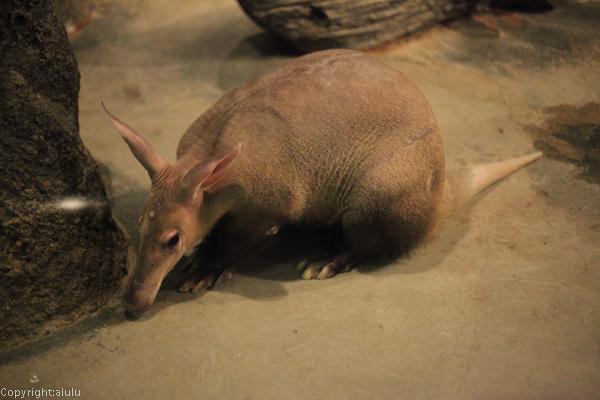 ツチブタ 東山動植物園
