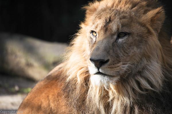 ライオン 動物園