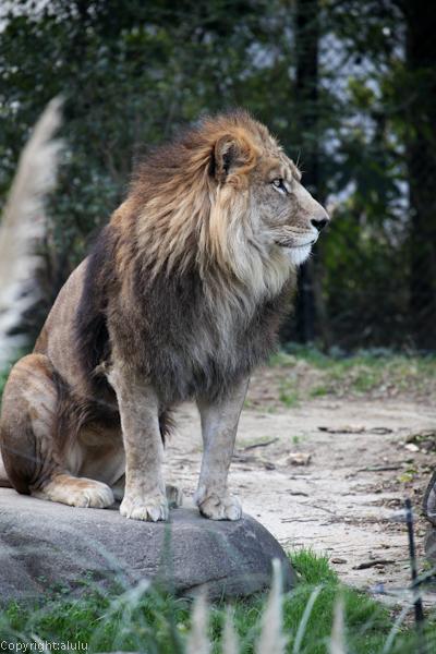 ライオン 至津の森
