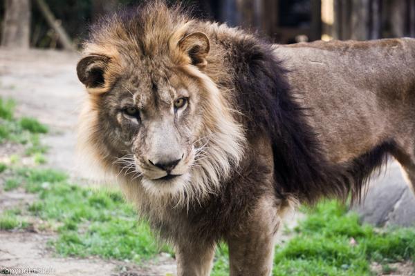 ライオン 写真