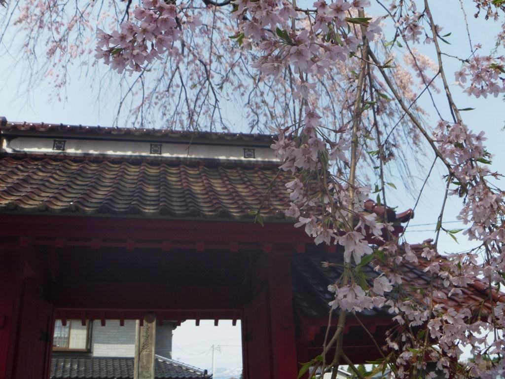 P1040486乙姫桜