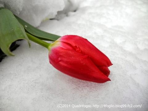 春と雪の競演
