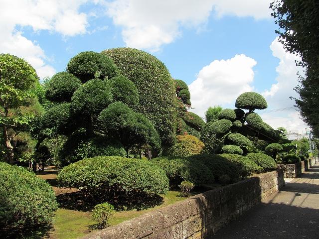 見事な庭木_3