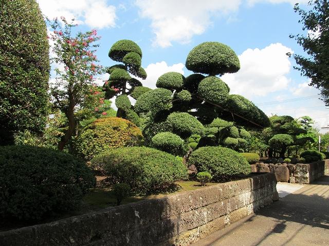 見事な庭木_4