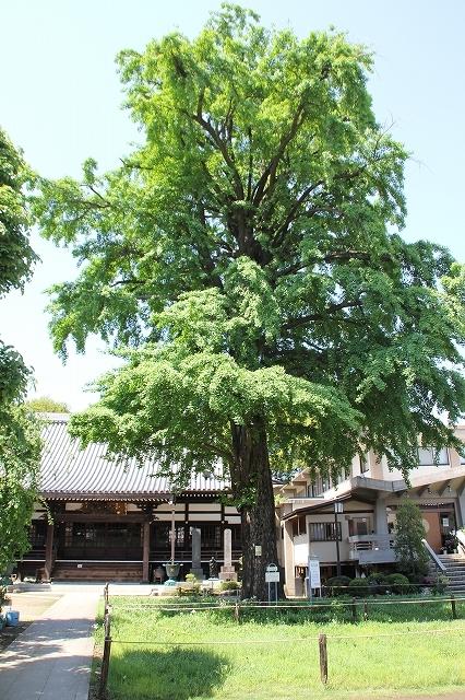 常円寺の大銀杏