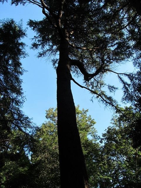 ヒマラヤ杉の巨木