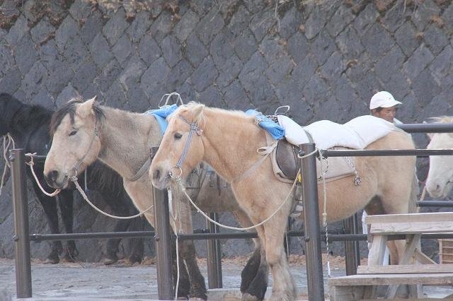 観光乗馬用のポニー