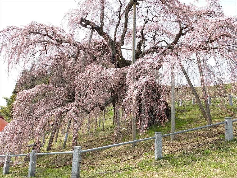 三春滝桜_14