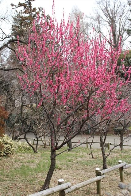 梅の花がお出迎え_2