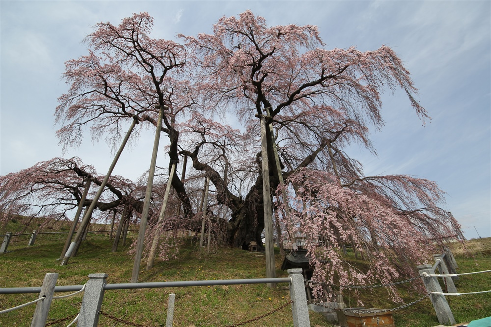 三春滝桜_1