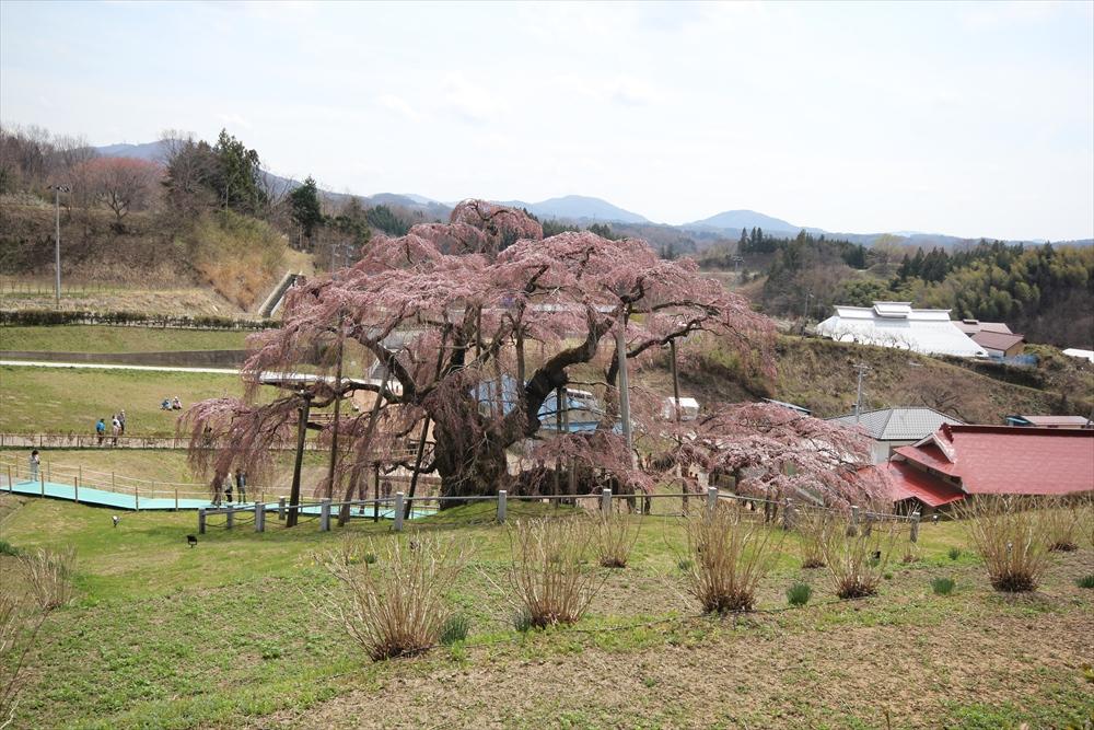 三春滝桜_3