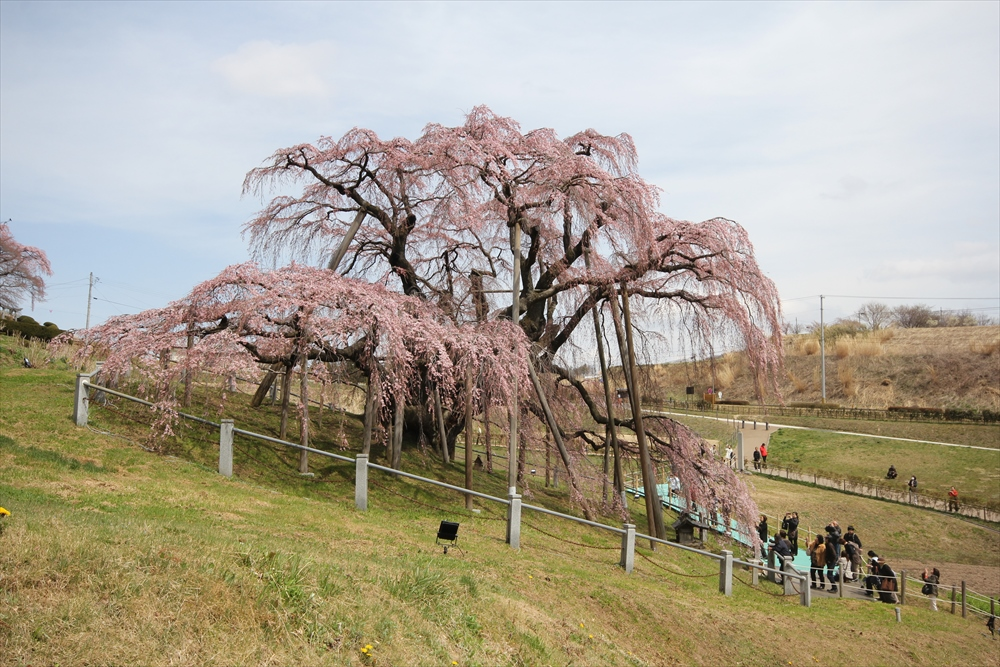 三春滝桜_4