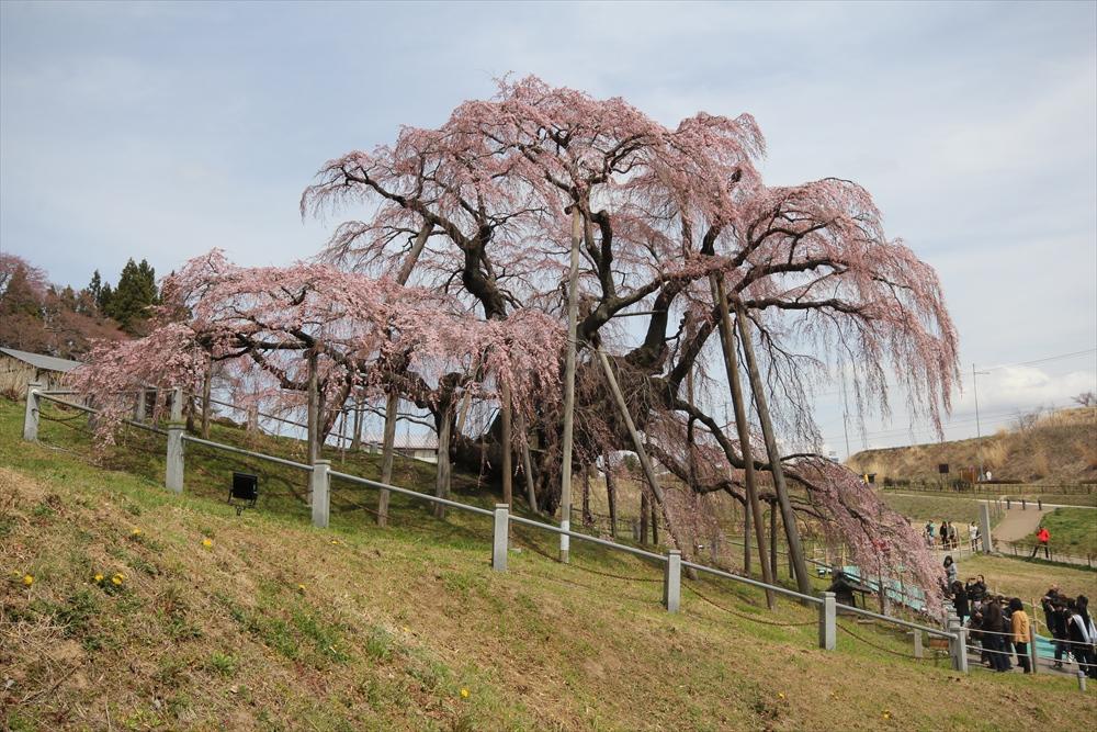 三春滝桜_6