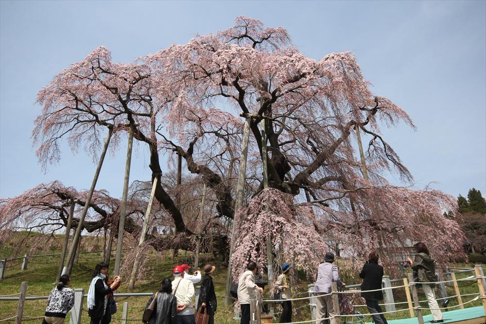 三春滝桜_10