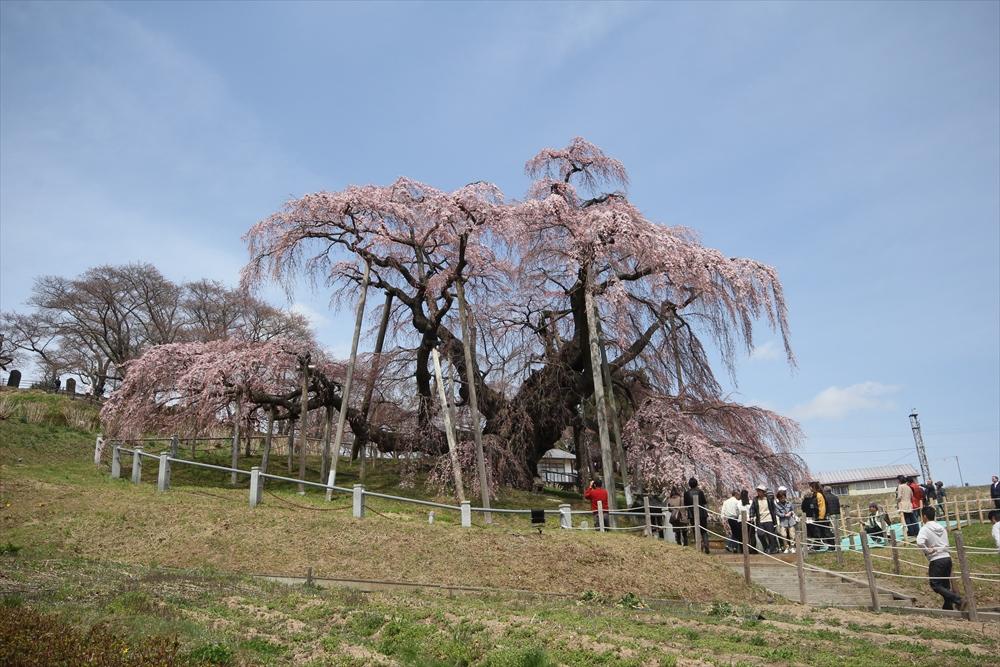 三春滝桜_12