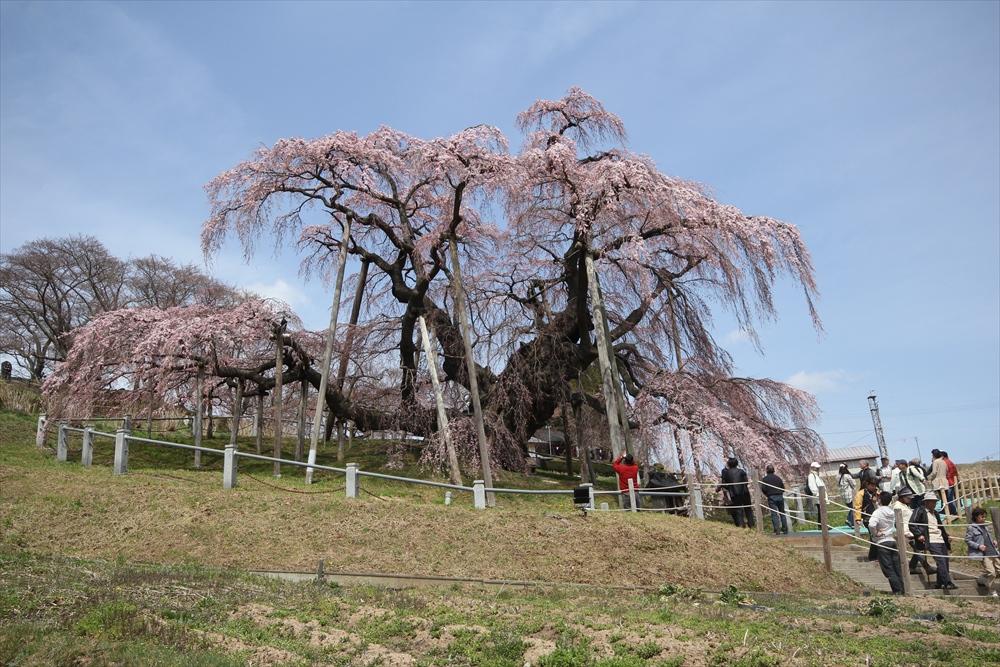 三春滝桜_13