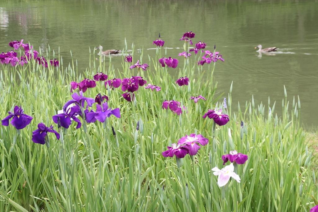 三渓園の花菖蒲_2