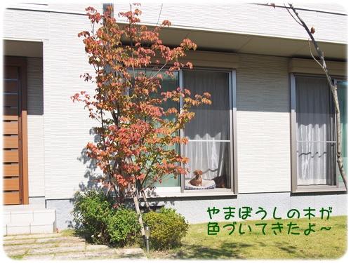 やまぼうしの木