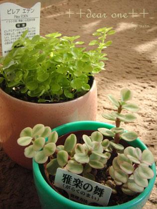 """新入りグリーン♪ ~ピレア・エデン&多肉植物""""雅楽の舞""""~(2012/11/15)"""