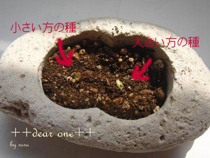 シルクジャスミンの種130328_7