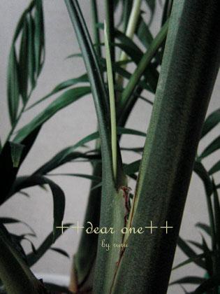 テーブルヤシの花130513_2