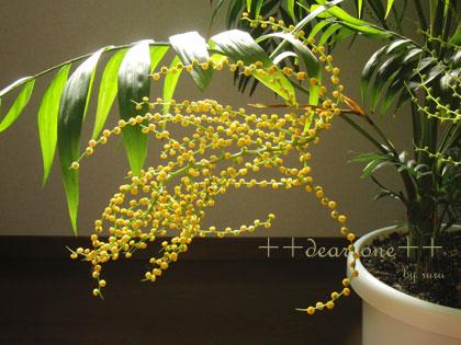 テーブルヤシの花130513_9