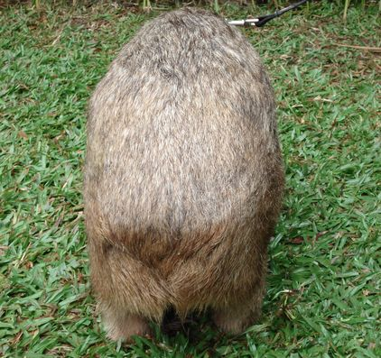 wombat_back.jpg