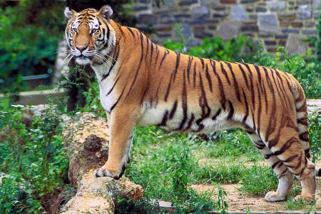800px-Panthera_tigris_tigris_convert_20130527215150.jpg