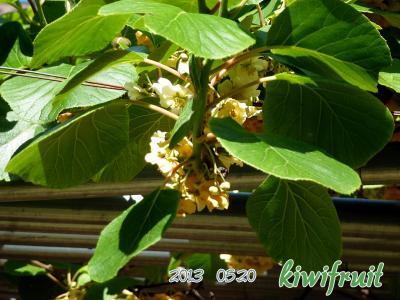 キウイフルーツの花2