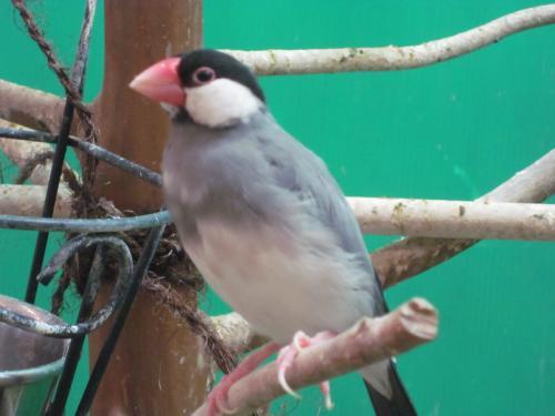 桜文鳥さん