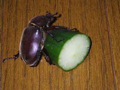[写真]きゅうりにしがみつくカブト虫(その2)