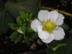 [写真]イチゴ(章姫)の花
