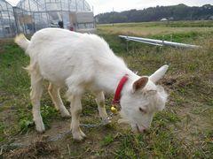 [写真]子ヤギ・アランが草を食べているところ