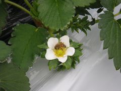 [写真]イチゴの花とミツバチ