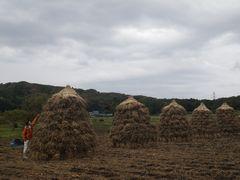 [写真]大豆の天日干しをしているところ