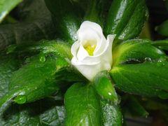 [写真]やよいひめの一番花