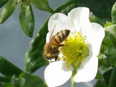 [写真]ミツバチが働いている様子