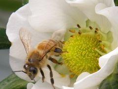 [写真]ミツバチとやよいひめ