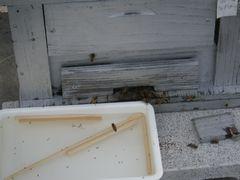 [写真]トレイに入れた砂糖水をミツバチが舐めているところ