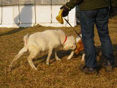 [写真]散歩中の犬に頭突きをするアラン