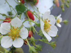 [写真]イチゴハウスの様子 章姫の花