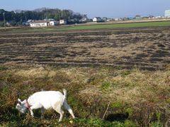 [写真]青い麦畑と草を食べる子ヤギのアラン