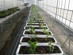 [写真]来シーズンの苗をプランターに植え付けた様子
