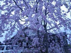 [写真]夕暮れ時の枝垂桜
