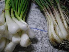 [写真]近所の方に頂いた「分葱」と「エシャレット」