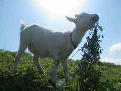 [写真]アランが首を伸ばして草をたべているところ