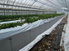 [写真]イチゴの株抜き作業の様子